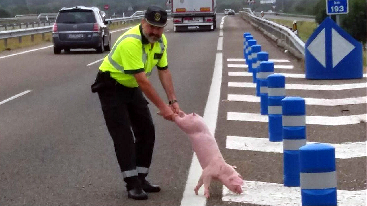 Un accidente de circulación acaba con varios cerdos en la A-52