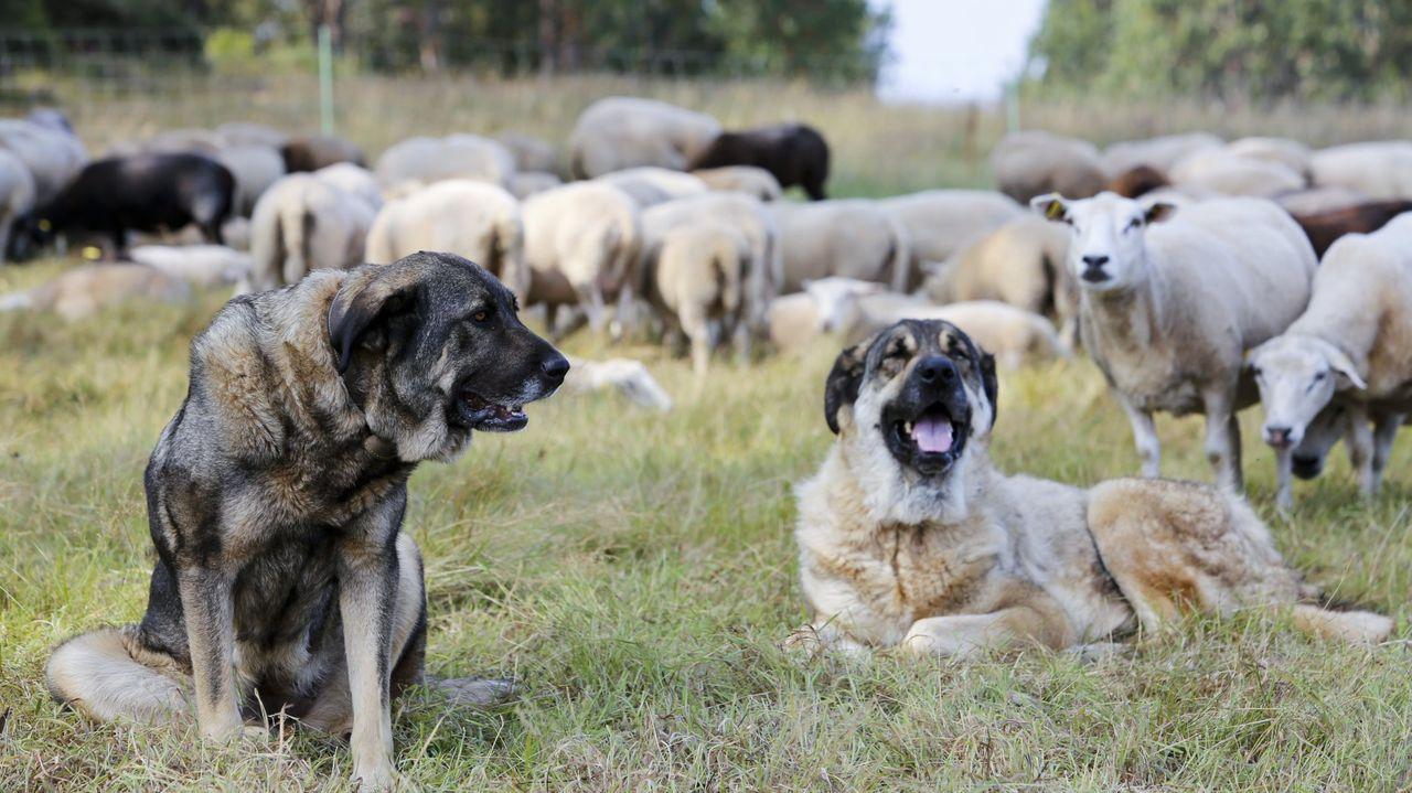 A Mariña, la más castigada en la provincia por los ataques de lobo