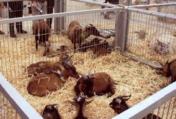 En la feria de Silleda ya se pudo ver en alguna ocasión cabras enanas de África y ovejas del Camerún
