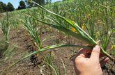 Los profesionales dicen que será difícil que los cultivos se recuperen aunque ahora empiece a llover.