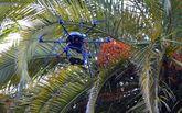 El dron de la Estación Fitopatolóxica do Areeiro, ayer, en la plaza de As Palmeiras de Caldas.
