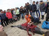 Alumnos de la USC vieron cómo le realizaron la autopsia a un delfín varado en Aguiño.