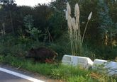 Un ejemplar, junto a la carretera de acceso al puerto de Lorbé.