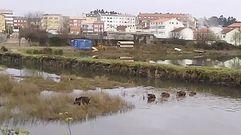 El paseo de una piara de jabalíes por el molino de As Aceñas, en Narón