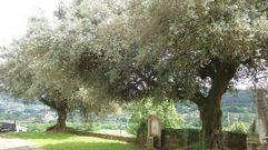 Polémica poda de los olivos centenarios de Ponte Ledesma