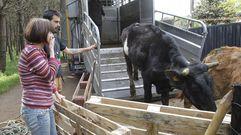 Una segunda oportunidad para las vacas de la explotación de Boiro