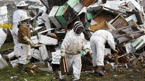 Catorce millones de abejas causan el caos en una autopista de EE.UU.