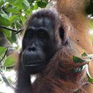 El primer asesinato entre orangutanes