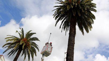 El picudo rojo ya ataca a las palmeras de más de una veintena de concellos