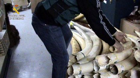 Incautados enMadrid 74 colmillos de elefante africano, en peligro de extinción