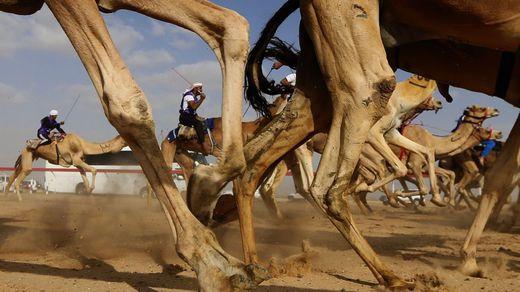Hagan sus apuestas al camello ganador en las carreras de Abu Dabi