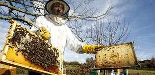 Gonzalo Calvo, veterinario y apicultor en Freán (O Saviñao), compara panales de una colmena fuerte y de otra en declive.