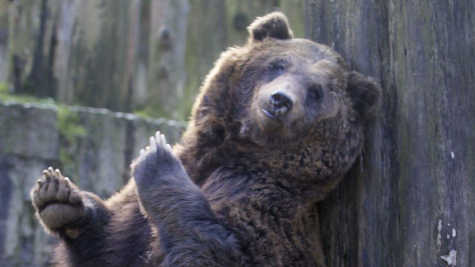 El oso Pelayo
