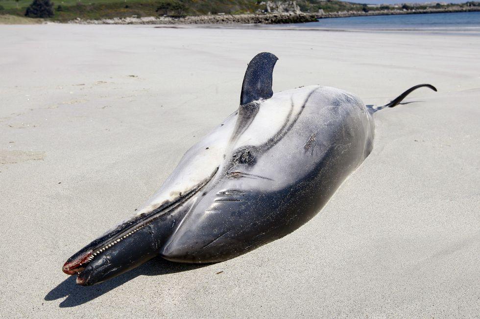 El delfín listado que apareció ayer en la playa de Lago (Xove).