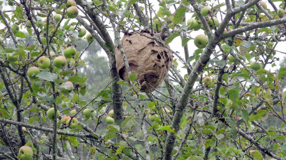 nido de avispa velutina en arbol