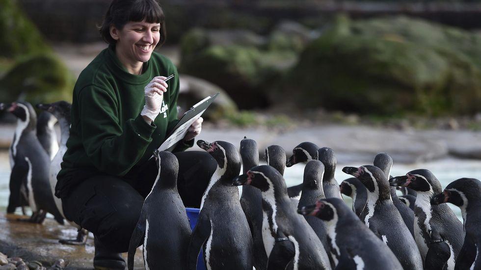 Una empleada sonríe junto a un grupo de pingüinos durante el recuento anual en el Zoo de Londres