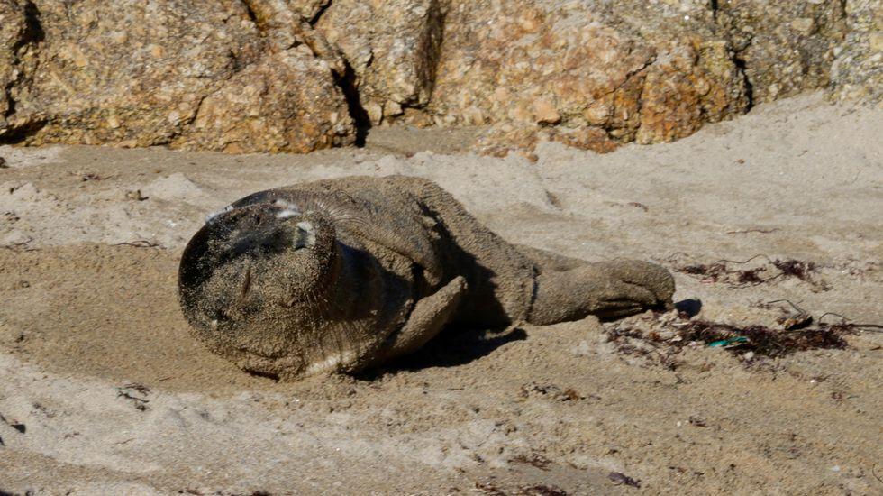 Aparece una cría de foca en la cala de Bens