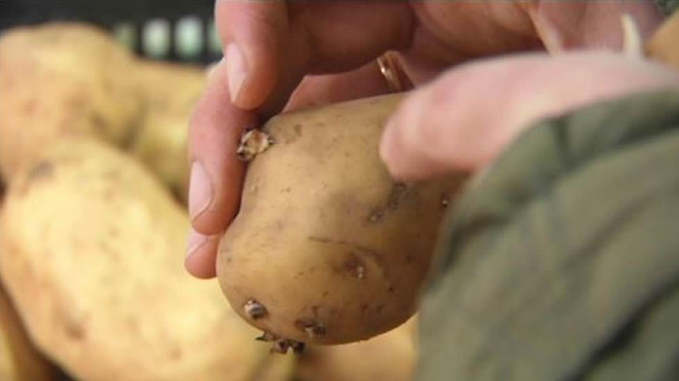 Resultado de imagen de plaga patata galicia